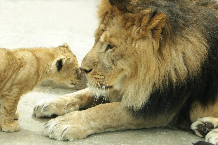Лев Эрни с детенышем