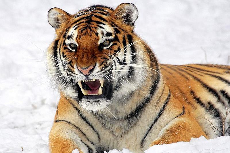Спасаясь от браконьеров, амурские тигры игнорируют существование границы России и Китая