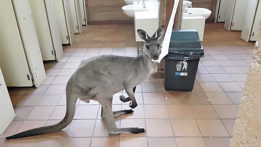 кенгуру, жующий туалетную бумагу