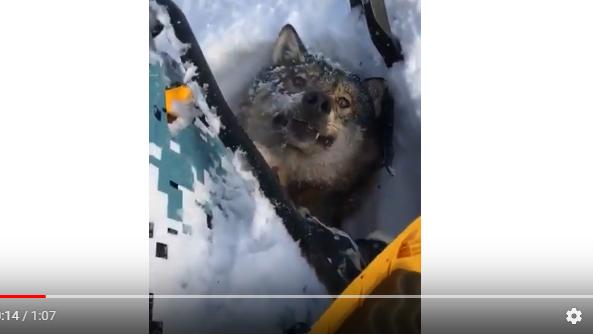 видео как охотник сбил волка