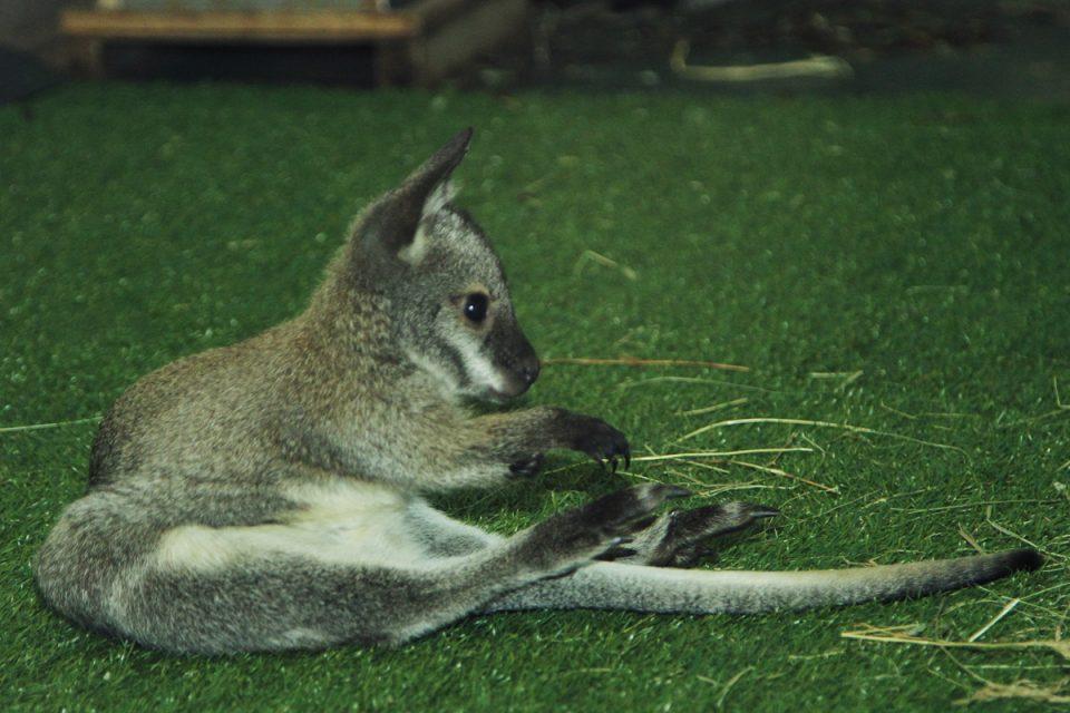 кенгурята