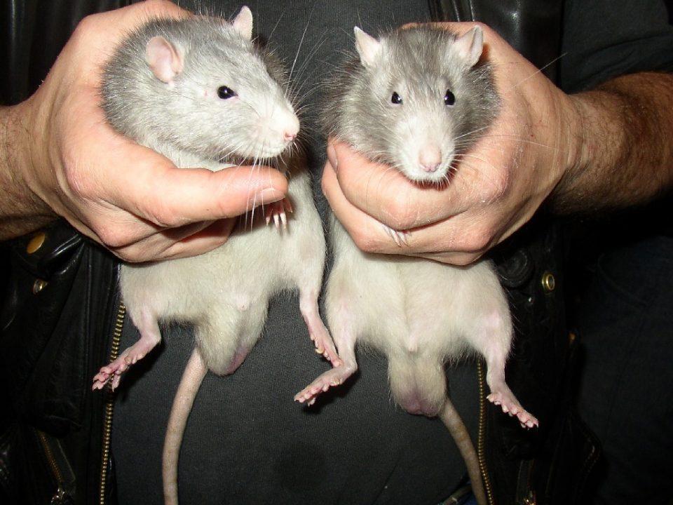 крыса в детском саду