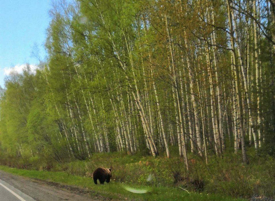 Медвежонок гуляет рядом с уральским городом Серов