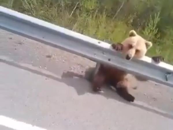 В Бурятии медвежонок бродит вдоль трассы (видео)