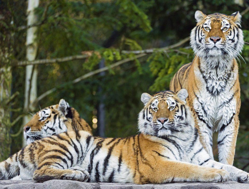 Амурские тигры вышли на трассу в Приморье (видео)