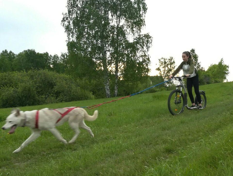 Соревнования по ездовому спорту с собаками на велосипедах