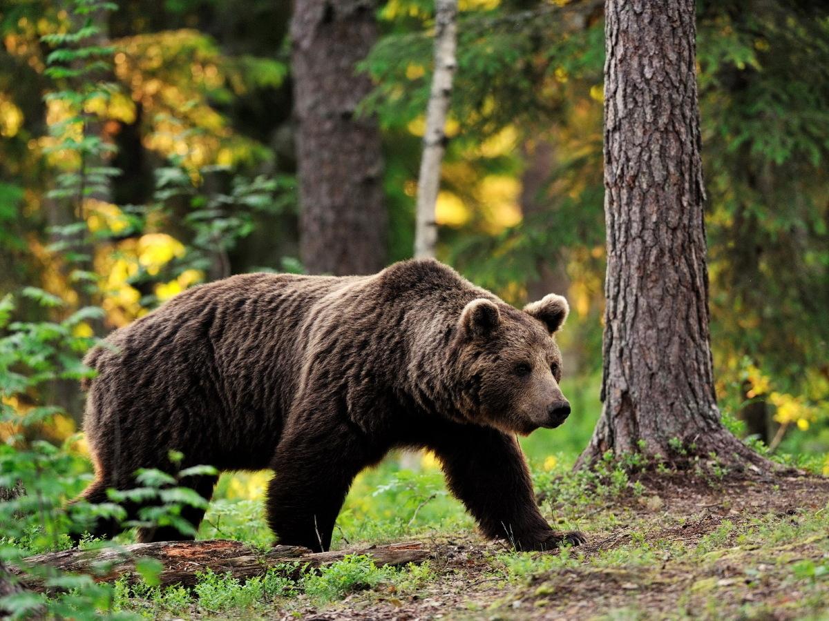 Медведь напал на спортсмена в Коми (видео)