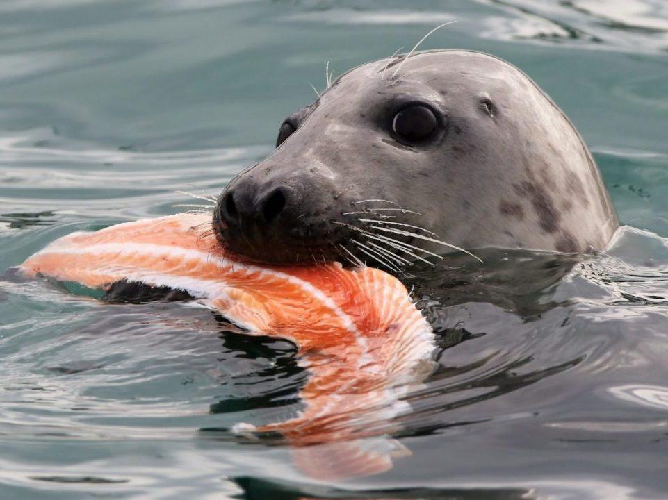 Тюленей научили исполнять мелодии из Звездных войн (видео)
