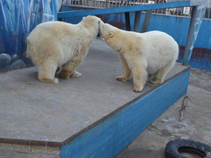В Пермском зоопарке белый медведь застрял в бочке