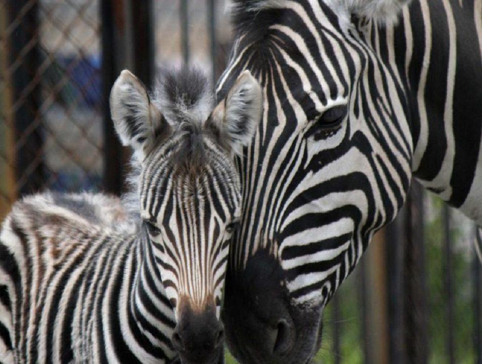 Челябинский зоопарк пополнился детенышем зебры