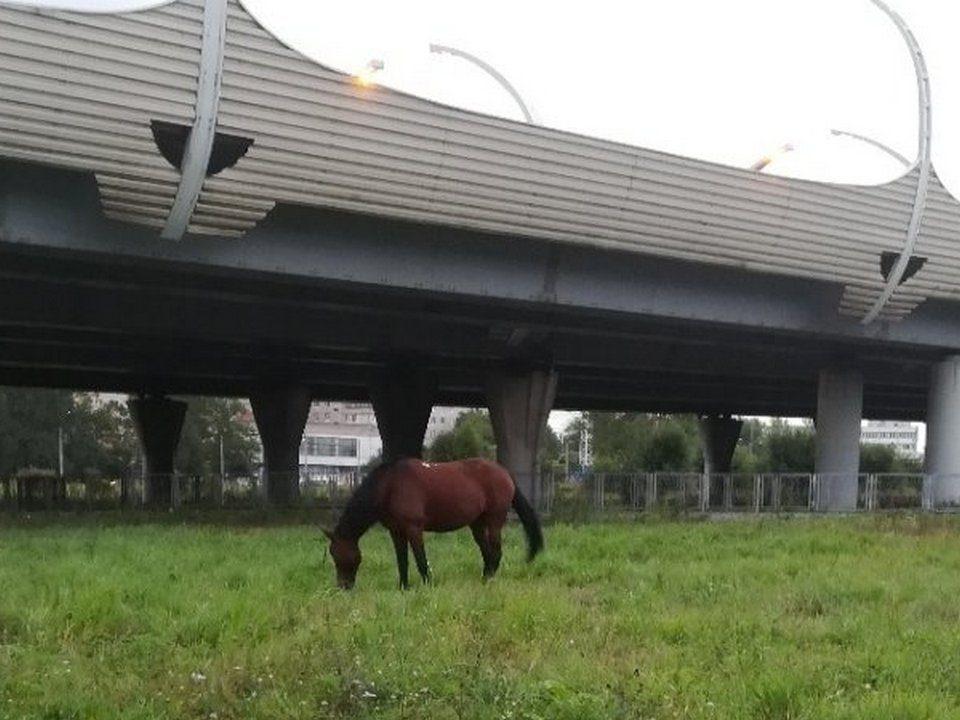 Одинокую лошадь не пустили в петербургский троллейбус