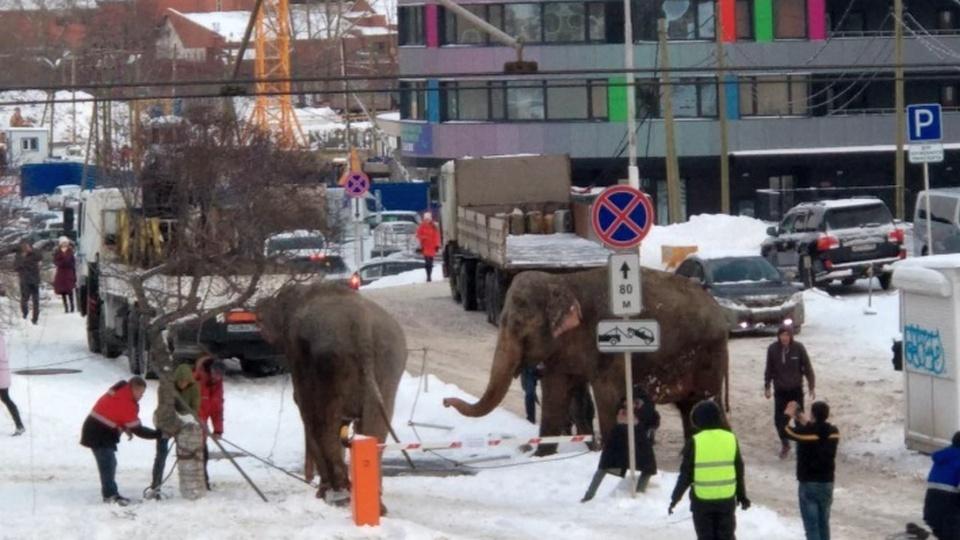 В Екатеринбурге из цирка сбежали слоны, их прогулка попала на видео