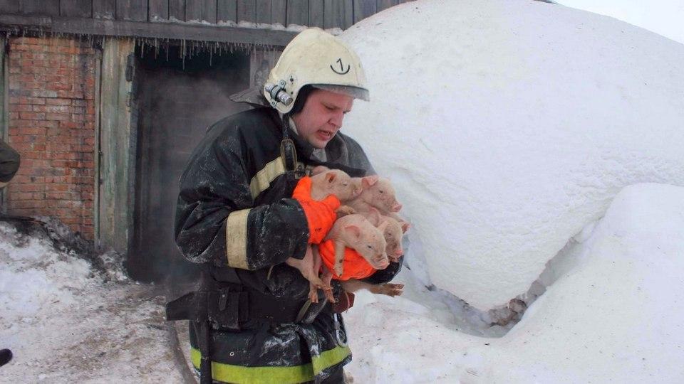 Пожар на ферме в Подмосковье унес жизни 500 свиней