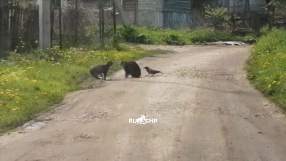 В сети появилось видео, как ворона пыталась разнять драку котов