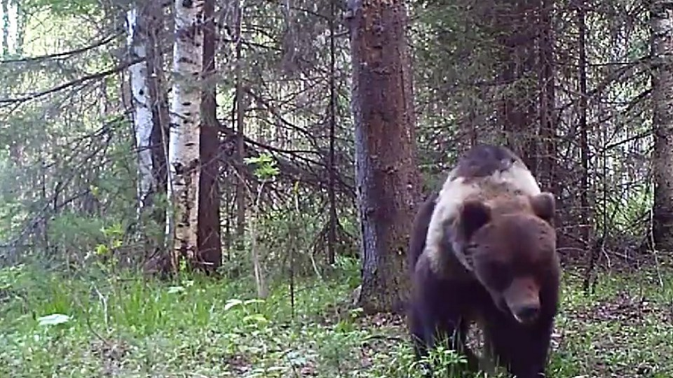 Танцующий медведь попал на записи камер Висимского заповедника на Урале