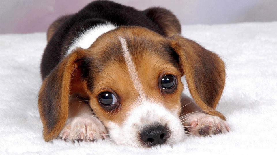 Власти КНДР могут отбирать домашних собак, чтобы решить проблему с продовольствием