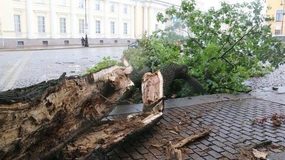Непогода в Петербурге: ветер повалил вековой клен у Русского музея