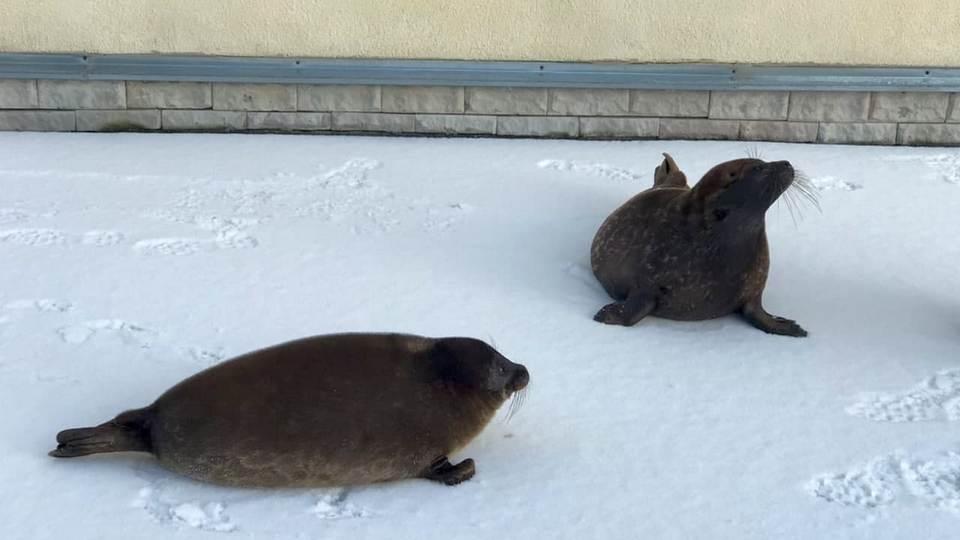 Нерпята Шлиссик и Крошик прогулялись по свежему снегу