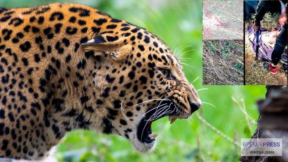 В Индии ищут леопарда-убийцу