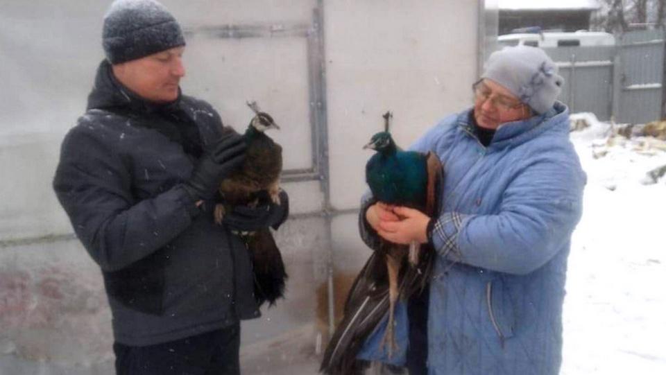 В Удмуртии спасатели сняли с крыши двух сбежавших павлинов