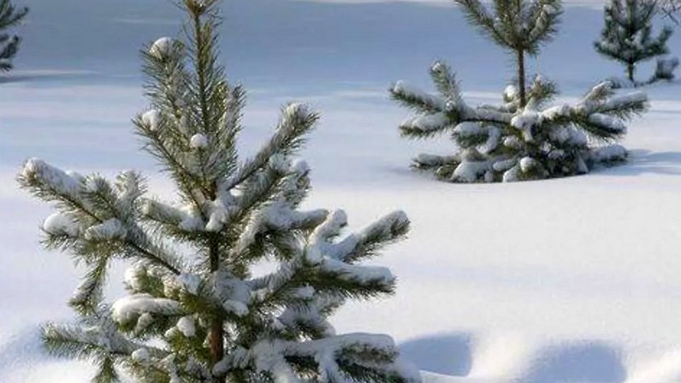 В Каменске-Уральском начали продавать елки к Новому году