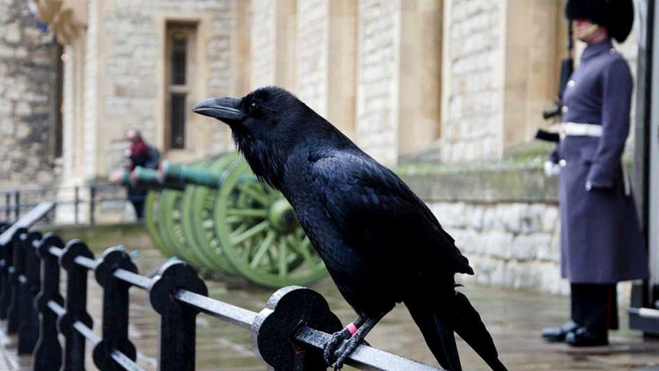 Плохой знак для Британии: пропал ворон лондонского Тауэра