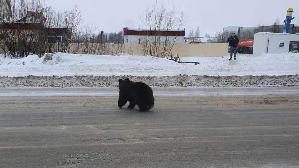 Нижневартовский медведь пойман, он оказался ручным