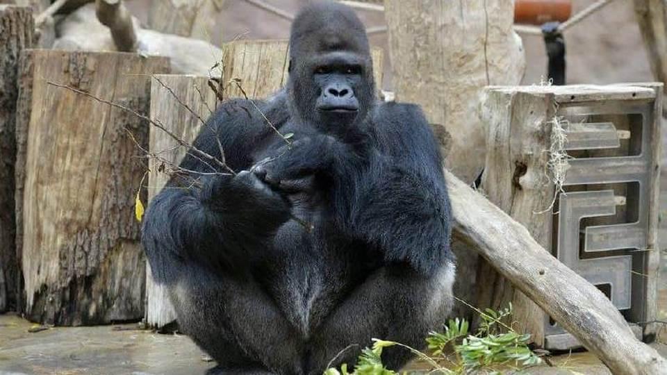 В Пражском зоопарке коронавирусом заразились ещё две гориллы