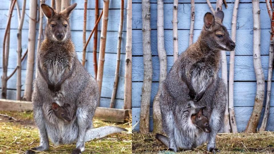 В зоопарке Челябинска родились детёныши кенгуру