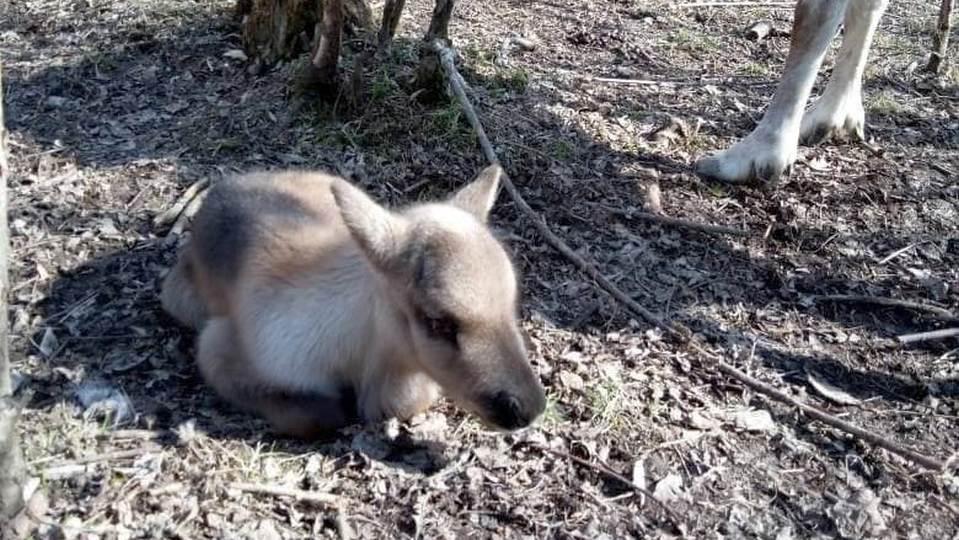 В Свердловской области в питомнике родился олененок