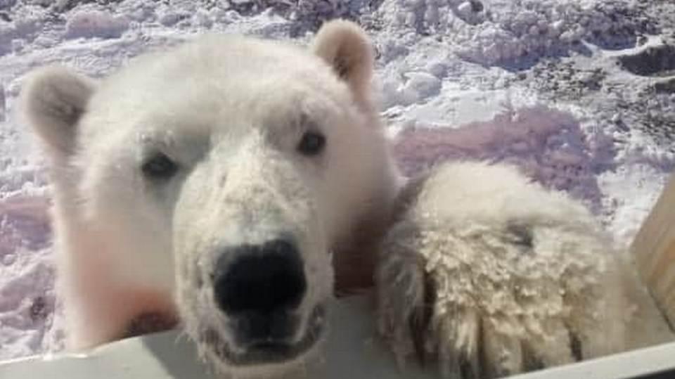 В Красноярском крае белый медвежонок прибился к золотодобытчикам