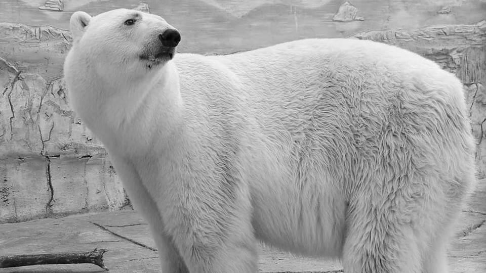 Белый медведь Умка умер в зоопарке Екатеринбурга из-за неосмотрительности посетителей