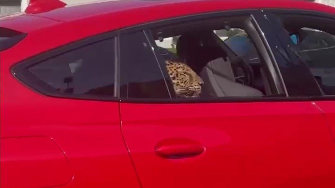 В Москве водители засняли, как настоящий леопард ехал на заднем сиденье BMW