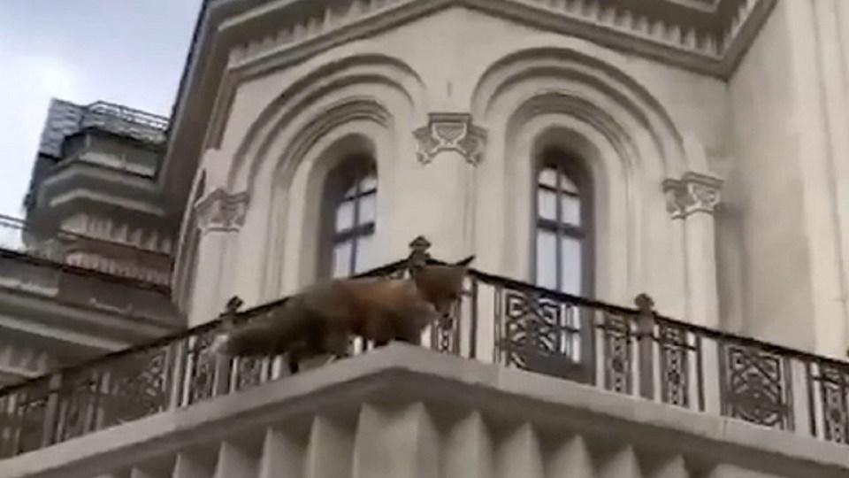 В Сети появилось видео, как спасатели ловят лису в Сретенском монастыре в Москве