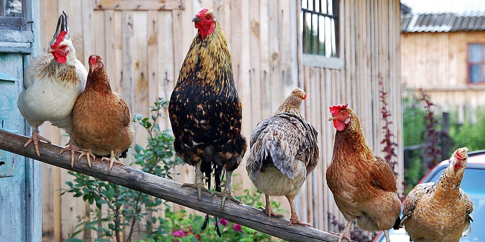 В прокуратуре разъяснили, почему нельзя разводить птиц на садовых участках